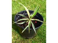 YUCCA PLANT SMALL FOR YOUR GARDEN