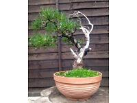 Quality Yamadori windswept style Mugo Pine