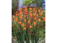 Hardy perennials. Large pots of orange Crocosmia.