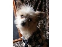 Chinese Crested Powder Puff X chihuahua Dog, 2 years old, £100 ono.