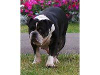 tri bulldog adult female for rehoming