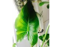 Flower Calla plant in the pot ,75 cm tall