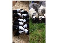 Old English Sheep Dog pups
