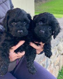 Gorgeous F1 Cockapoo Puppies