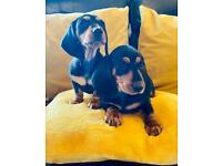 Miniature dachshund puppies smooth coat