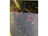 30+ fish in different colours, species and sizes, including 7 large koi.