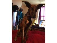 Rocco 10 month old lurcher
