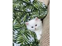 Beautiful fluffy white kitten