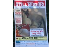 Missing lilac point Siamese
