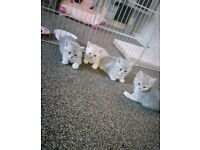 ***British Shorthair Kitten's Now Ready***