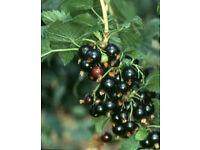 Titania Blackcurrant Bush Multi Stemmed Plant,Tasty Black Fruit