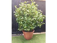 Plant - Camellia Very large in pot