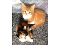 Beautifu calico & fluffy ginger kittens for sale