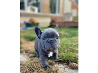 French Bulldog Puppies! Ready to go in 2 weeks!