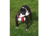 Olde english bulldog bitch for sale
