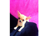 Top quality smoothcoat Chihuahua puppies for sale