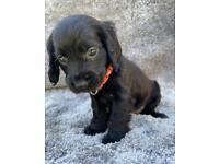 Cocker spaniel puppy (GIRL)