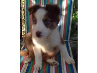 Gorgeous Border Collie Puppies (Both injections Health checked and Microchipped) £545-£695