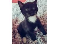 Ragdoll cross boy kitten