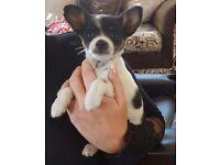 chihuahua girl puppie