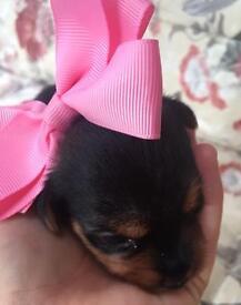 Yorkshire terrier girl 🐶