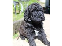 **** Double Doodles ****beautiful pups from our golden doodle Audrey and our labradoodle Steve .