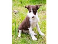 Border collie pups/puppies Red & White or Black/White/Tan