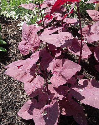 100 Samen Rote Garten-Melde Spanischer Spinat Salat Orache Atriplex Hortensis