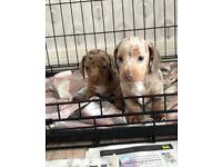 Miniature dachshound puppies
