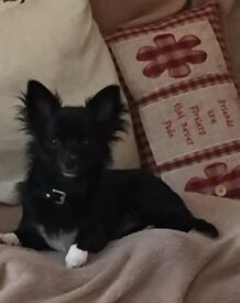 Chihuahua 8 month old small, Black white bib, long haired gentle puppy