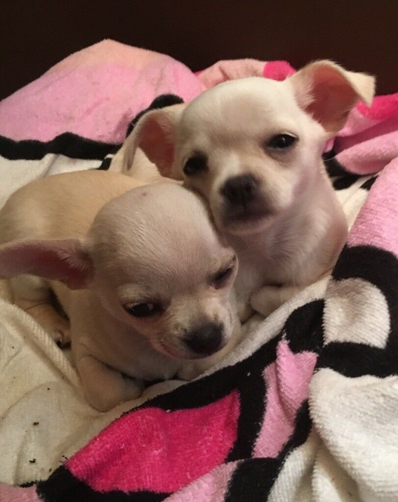 Adorable Male Chug puppy (chihuahua x pug) | in Watchet, Somerset | Gumtree
