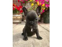 KC reg Male french bulldog