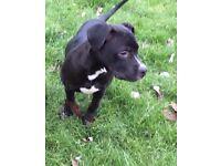french mastiff x for sale