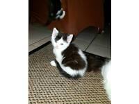 Siberian cross kittens