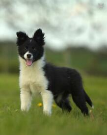 Registered collie pups