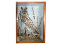 Victorian Taxidermy Long Eared Owl