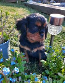 DNA & cardiologist tested Cavalier king charles pup