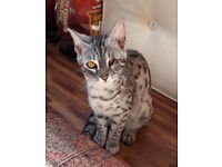 Bengal Silver female 7 months
