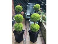 Topiary trees x 2 golden cypress real