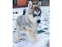Beautiful Siberian Husky x Alaskan Malamute
