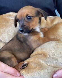 Chihuahua X Pomeranian Terrier Puppys in Wisbech