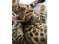 Female Pure Bengal Kitten Looking For A New Home 14 Weeks Old