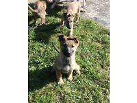 6 German Shepard puppies