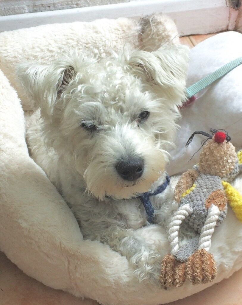 Westie/Bichon cross. 7 month old puppy | in Liss, Hampshire | Gumtree