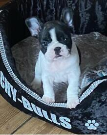 Kc french bulldog (male)