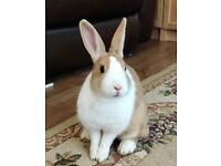 2 Pure Dutch Female Rabbits for sale
