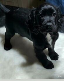 Last one COCKER SPANIEL PUPPIES - KC REG- EXCELLENT BLOODLINES