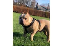American Pocket Bully Vito The Merl X Miss Euro
