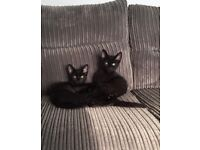 Male Kittens urgently need their forever home