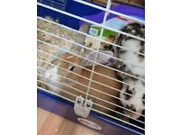 2 rabbits male's for sale